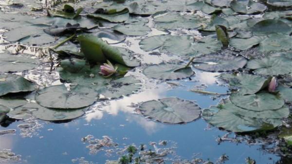 נימפאות, אגם ושמיים. בגן של ז'יברני