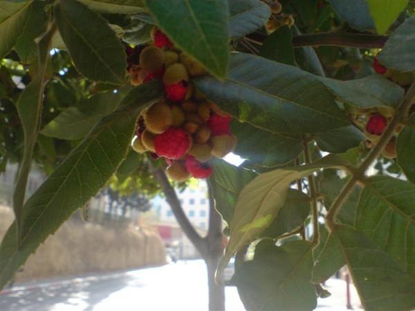 פירות יער אדומים ביד חרוצים