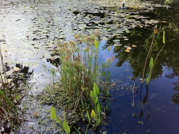 חבצלות מים. האגם בגן מאיר
